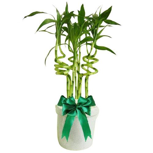 Charming Bamboo Plant in a Pot