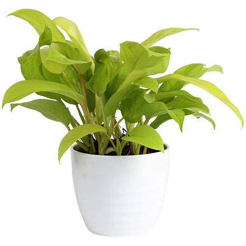 Fortune pot plant<br>(for Bangkok only)